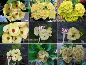 assorted-yellow-euphorbia-milii