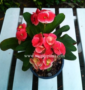 bi-color-euphorbia-milii-for-sale-20141