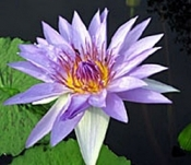 blue-capensis