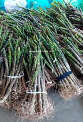 buy-plumeria-plant-thailand-640x480