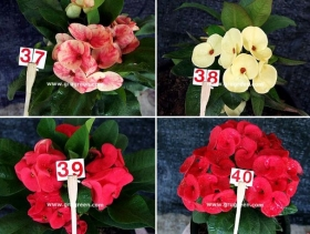 cheap-thai-euphorbia-mill-10