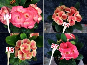 cheap-thai-euphorbia-mill-5