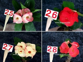 cheap-thai-euphorbia-mill-7