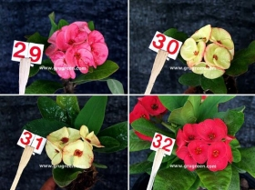 cheap-thai-euphorbia-mill-8