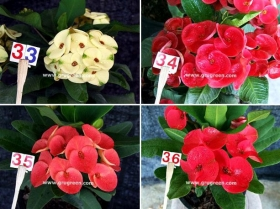 cheap-thai-euphorbia-mill-9