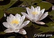 crystal_pink