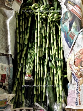 dracaena-lucky-bamboo-thailand-for-sale-1