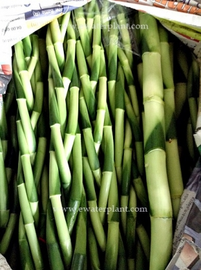 dracaena-lucky-bamboo-thailand-for-sale-11