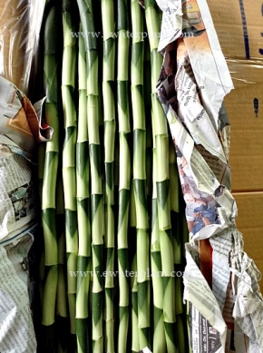 dracaena-lucky-bamboo-thailand-for-sale-4