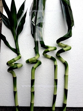 dracaena-lucky-bamboo-thailand-for-sale-7