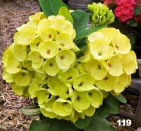 euphorbia-milii-119