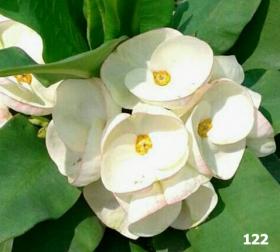 euphorbia-milii-122