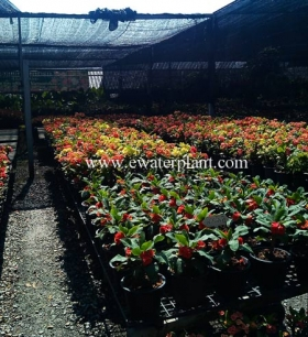 euphorbia-milii-thailand-for-sale-13