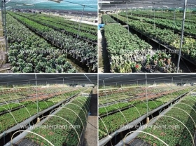 garden-euphorbia-milii-2