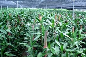 garden-lucky-bamboo