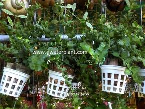 hanging_plant_20
