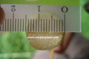 lucky-bamboo-diameter