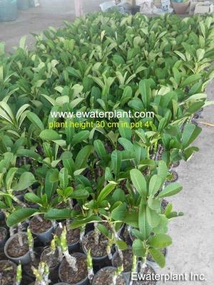 plumeria-plant-thailand-30c