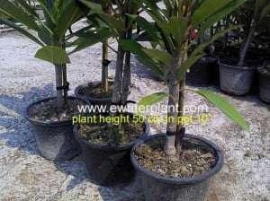 plumeria-plant-thailand-502