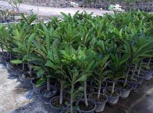 plumeria-plant-thailand-503