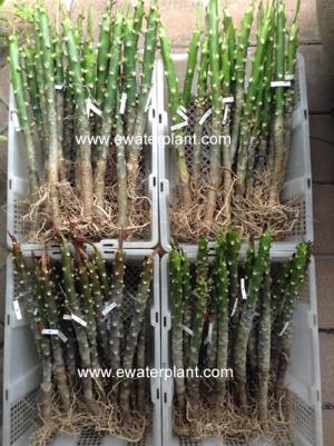 plumeria-plant-thailand-504