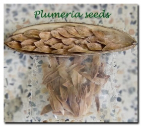 plumeria_seed_pod