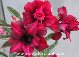 red-desert-rose