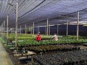 thai-aglaonema-nursery-3