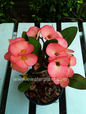 thai-euphorbia-milii-for-sale-11