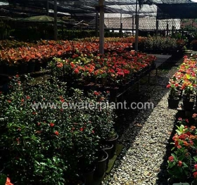 thai-euphorbia-milii-for-sale-14