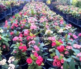 thai-euphorbia-milii-garden-20151