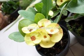 thai-euphorbia-milii016