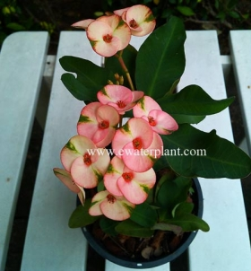 thai-pink-euphorbia-milii-for-sale-20141
