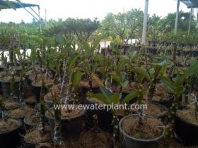 thai-plumeria-garden-04