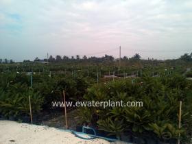 thai-plumeria-garden-06