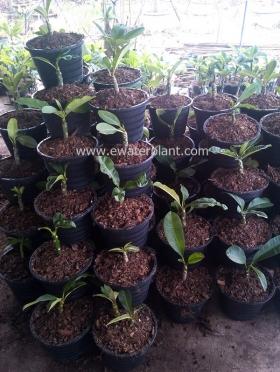 thai-plumeria-garden-08