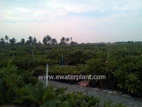 thai-plumeria-garden-10