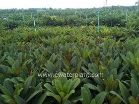 thai-plumeria-garden-11