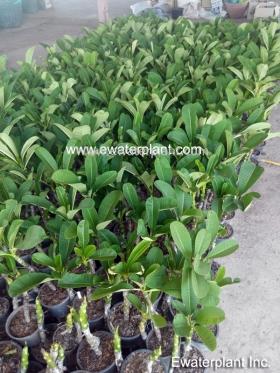 thai-plumeria-garden-13