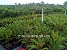 thai-plumeria-garden-14