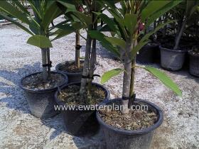 thai-plumeria-garden-16