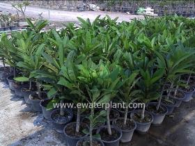 thai-plumeria-garden-17