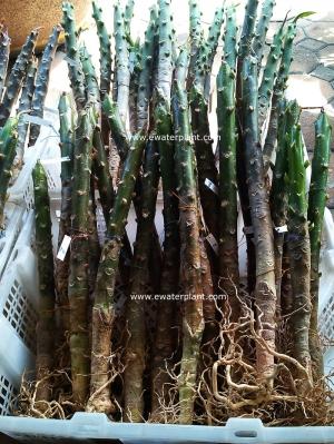 thai-plumeria-plant-3