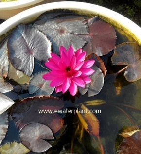 thailand-night-waterlily-po