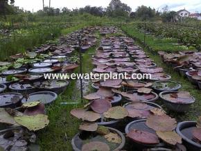 victoria-amazonica-nursery