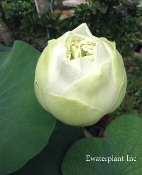 white-lotus-11