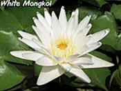 white_mongkol