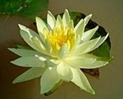 yellow_bangpra