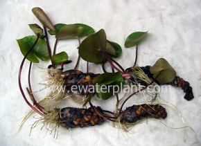 water-lily-new-root-growth1