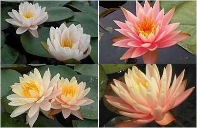 water lily thailand peach